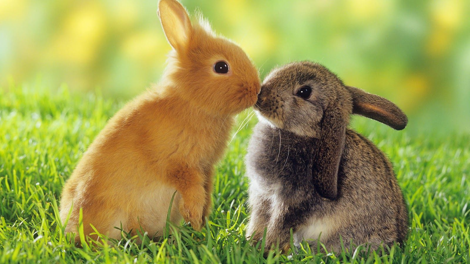 1600x900 Rabbits HD Wallpapers | Rabbits HD Wallpapers | Pinterest | Hd ...