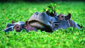 Hippopotamus Wallpaper 60+
