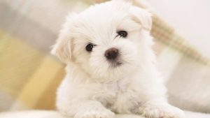 Teacup Puppies Wallpaper 44+
