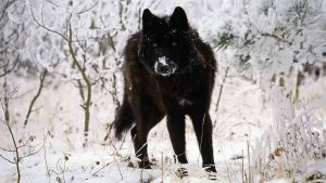 Timber Wolf Wallpaper 66+