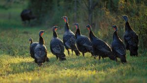 Wild Turkey Wallpapers and Screensavers 47+