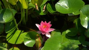 Water Lily Wallpaper 69+