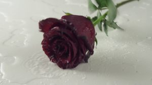 Red Rose White Background 39+