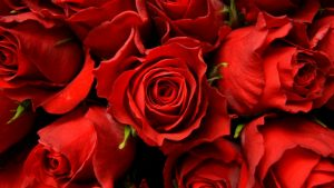 Dark Red Roses Wallpaper 59+