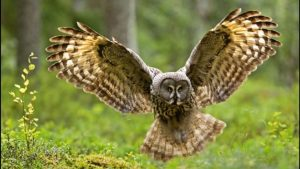 Owl Flying Wallpaper 66+