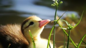 Baby Duck Wallpaper 59+