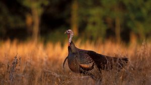 Eastern Wild Turkey Wallpaper 59+