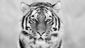 Black and White Tiger Wallpaper 60+